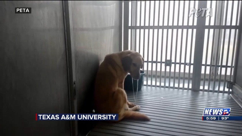 Texas A&M to end breeding of sick dogs in its medical research