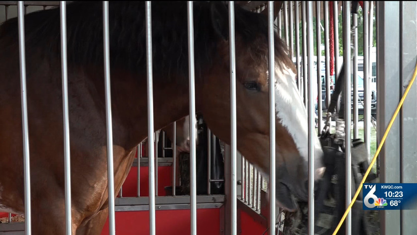 Clydesdale horses spending week at MVF