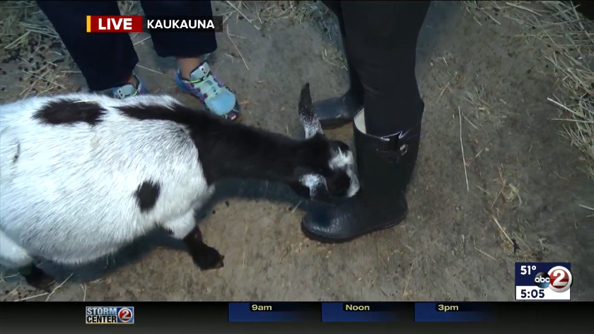 The goats are back to graze at nature center