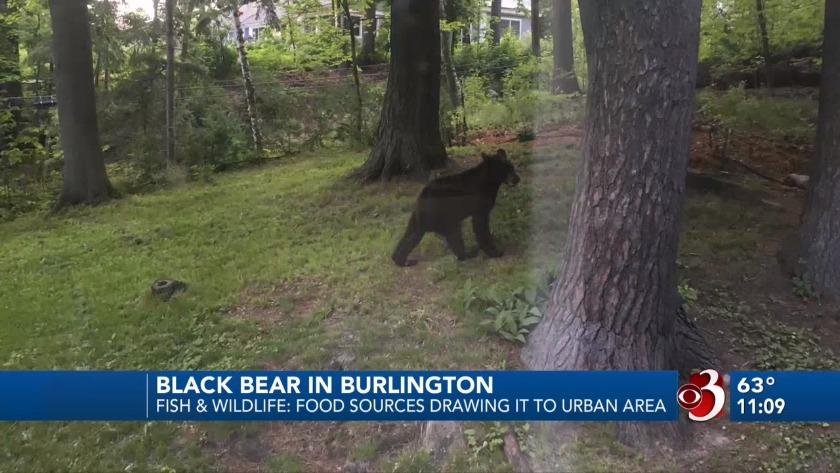 dca149245734 Black bear spotted in South Burlington makes its way to Queen City