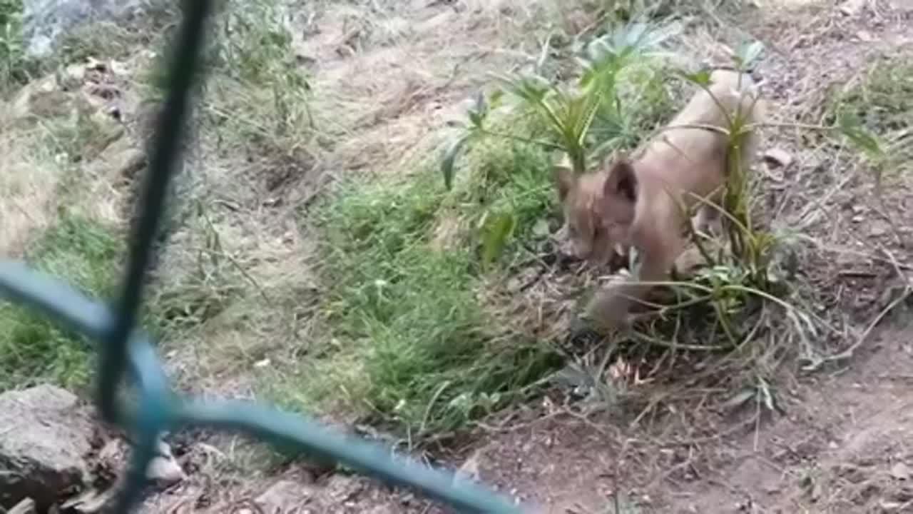 WATCH: Baby lynx