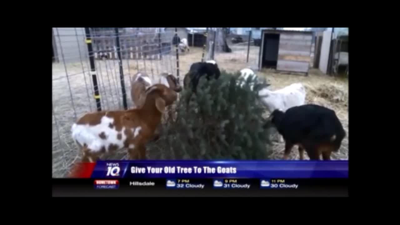 Let goats eat your Christmas tree