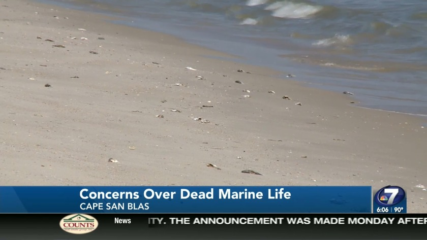 Fish Kill On Cape San Blas Concerns Residents Of Red Tide