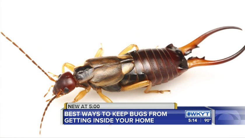 WATCH Silverfish, spiders, other bugs on the rise in central
