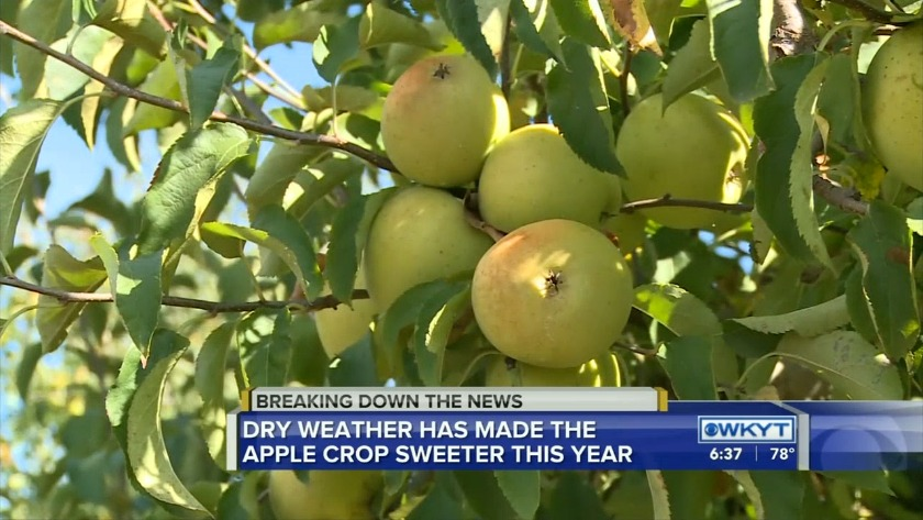 Watch Dry Weather Leads To Sweeter Apples At Kentucky Orchard