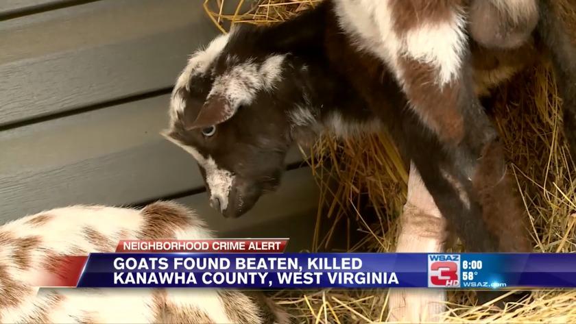Goats found shot dead in Kanawha County