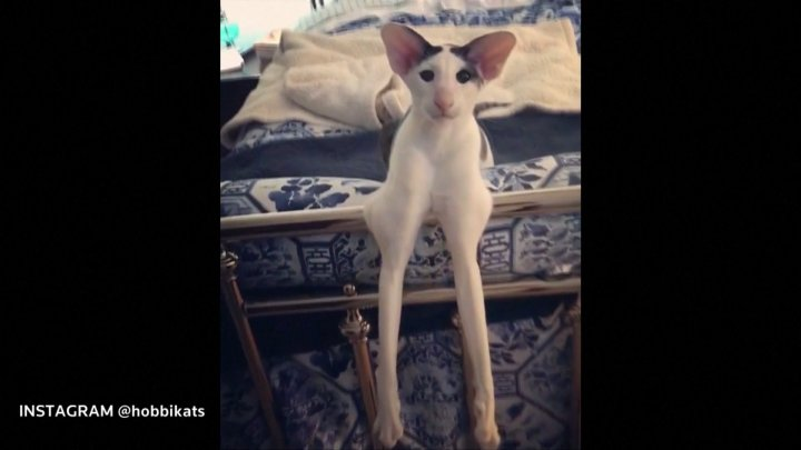 Cat with long limbs goes viral