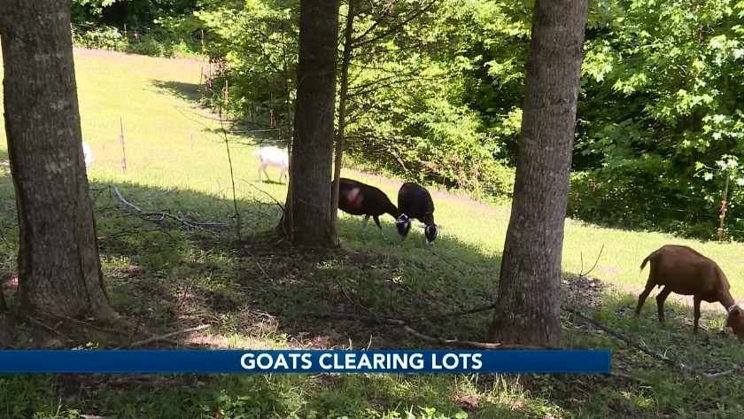 Knoxville City Council OKs goat rentals for yard work